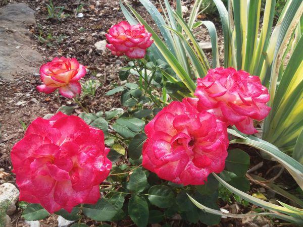 Les roses du camping